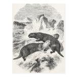 Ejemplo de la nutria de los 1800s de las nutrias d postales