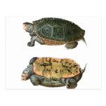 Ejemplo de la tortuga acuática de Diamondback Postal