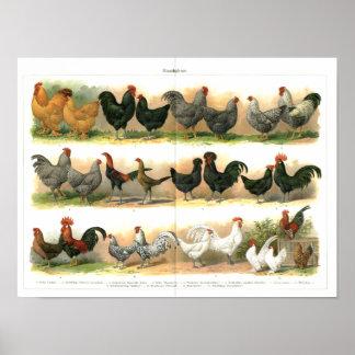 Ejemplo de las razas de los gallos de los pollos póster