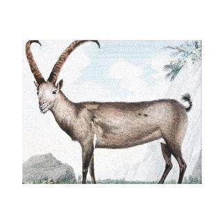 Ejemplo de Steinbock (cabra montés) Lienzo Envuelto Para Galerías