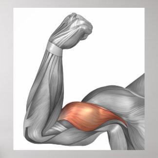 Ejemplo de un brazo doblado que muestra el bíceps póster