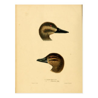 Ejemplo de un naturalista del vintage del pato el tarjetas postales