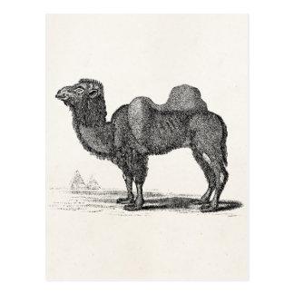 Ejemplo del camello de los 1800s del vintage - postal