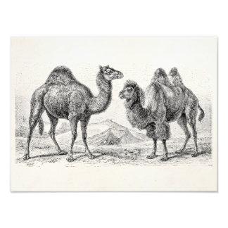 Ejemplo del camello del vintage - camellos impresión fotográfica