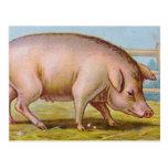 Ejemplo del cerdo del vintage postales