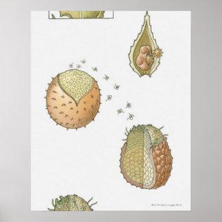 Ejemplo del ciclo vital de un Selaginella Impresiones
