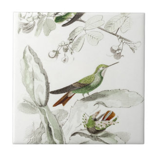 Ejemplo del colibrí del vintage - pájaros 1800's azulejo cuadrado pequeño