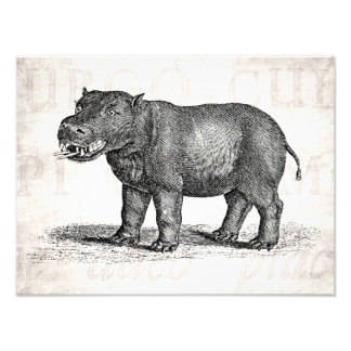 Ejemplo del Hippopotamus de los 1800s del vintage Fotografías
