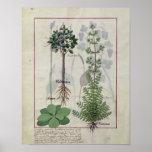 """Ejemplo del """"libro de las medicinas simples"""" 2 póster"""