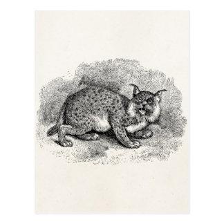 Ejemplo del lince del gato de Bob de los 1800s del Postales