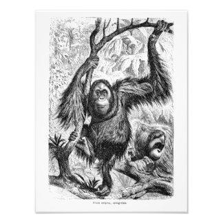Ejemplo del orangután del vintage - mono 1800's foto