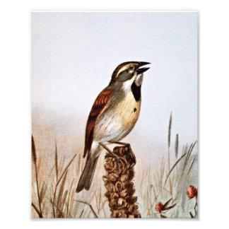 Ejemplo del pájaro de Dickcissel Fotografia