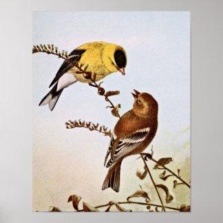 Ejemplo del pájaro de Goldfinchs del americano Poster