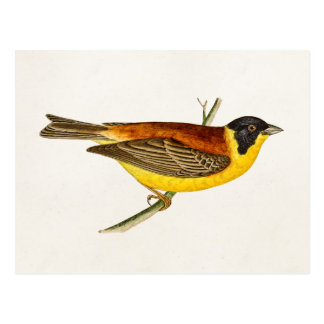 Ejemplo del pájaro de la canción del vintage - tarjetas postales