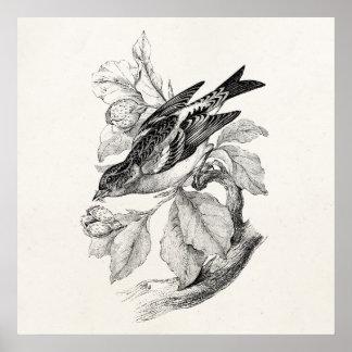 Ejemplo del pájaro del pinzón de la montaña de los impresiones