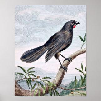 Ejemplo del pájaro del vintage de Wattlebird