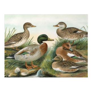 Ejemplo del pájaro del vintage del pato silvestre postales