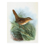Ejemplo del pájaro del vintage del Wren de juncia Tarjetas Postales