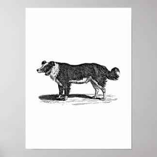 Ejemplo del perro del border collie de los 1800s d poster