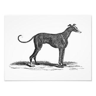 Ejemplo del perro del galgo de los 1800s del vinta fotografía