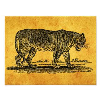 Ejemplo del tigre del vintage - tigres 1800's fotografías