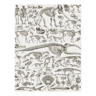 Ejemplo del vintage de huesos humanos y animales postal
