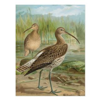 Ejemplo eurasiático del pájaro del vintage del tarjeta postal