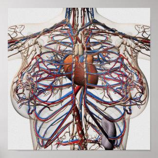 Ejemplo médico de las arterias femeninas del pecho póster