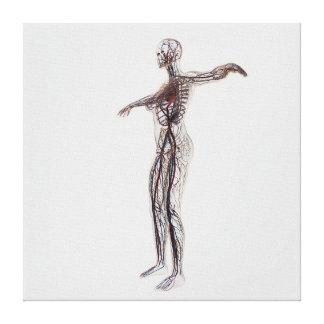 Ejemplo médico de las arterias femeninas, venas impresiones en lienzo estiradas