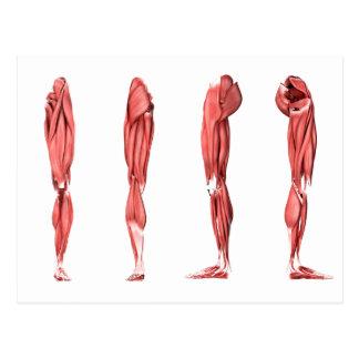 Ejemplo médico de los músculos humanos de la tarjetas postales