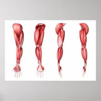 Ejemplo médico de los músculos humanos del brazo póster