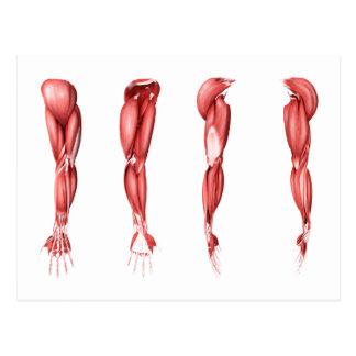 Ejemplo médico de los músculos humanos del brazo tarjetas postales