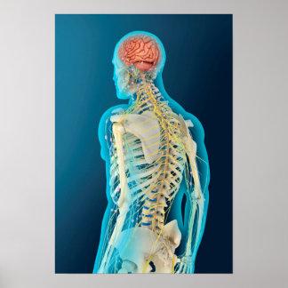 Ejemplo médico del cerebro humano y del tronco del póster