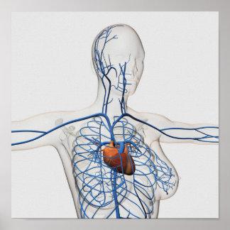 Ejemplo médico del sistema circulatorio póster