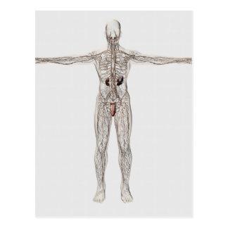 Ejemplo médico del sistema linfático masculino tarjeta postal