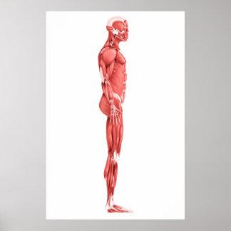Ejemplo médico del sistema muscular masculino 1 póster
