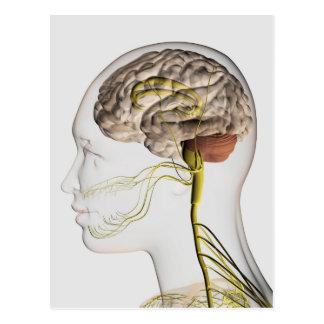 Ejemplo médico del sistema nervioso humano 1 postal