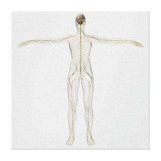 Ejemplo médico del sistema nervioso humano impresion de lienzo