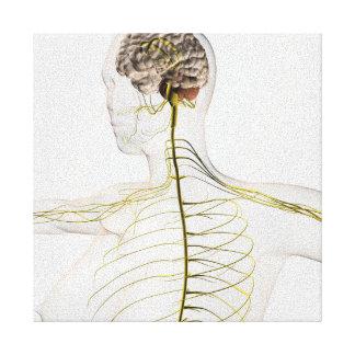 Ejemplo médico del sistema nervioso humano lienzo envuelto para galerías