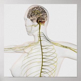 Ejemplo médico del sistema nervioso humano póster