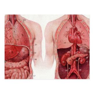 Ejemplo médico del vintage, anatomía postales