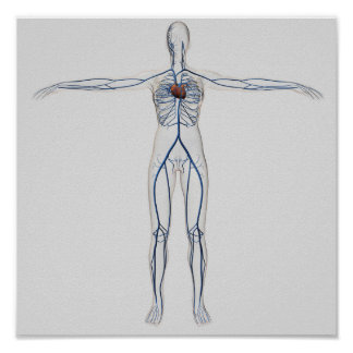 Ejemplo médico: Sistema circulatorio femenino 1 Póster
