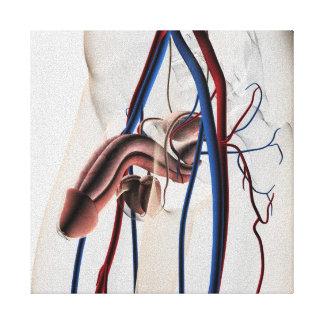 Ejemplo médico: Sistema reproductivo masculino 4 Impresión En Lona Estirada