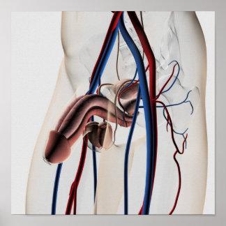 Ejemplo médico: Sistema reproductivo masculino 4 Póster