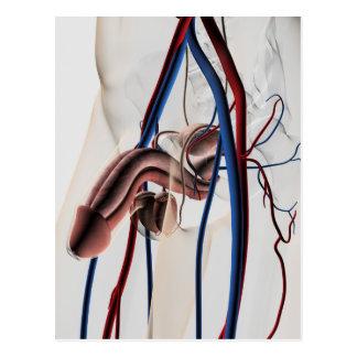 Ejemplo médico: Sistema reproductivo masculino 4 Postales