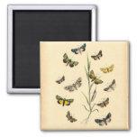 Ejemplos de la mariposa del vintage - imán
