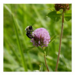 El abejorro en el trébol púrpura toma vuelo posters