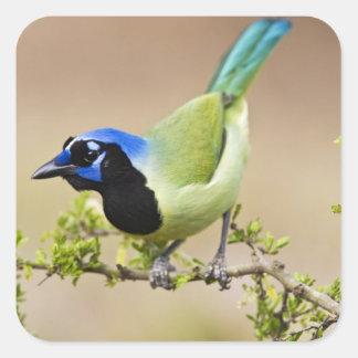 El adulto verde de los yncas de Jay Cyanocorax) se Pegatina Cuadrada