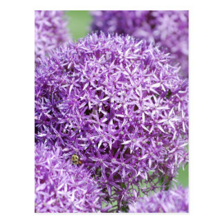 El allium floreciente florece la postal