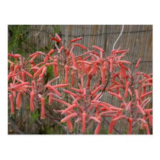 el áloe suculento florece la foto aseada rosada de postales